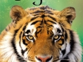 beginners-tigers