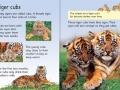 beginners-tigers3